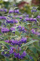 Dark Knight Caryopteris (Caryopteris x clandonensis 'Dark Knight') at Oakland Nurseries Inc