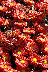 Dark Bronze Daisy Chrysanthemum (Chrysanthemum 'Dark Bronze Daisy') at Oakland Nurseries Inc
