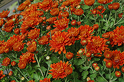 Bright Gretchen Chrysanthemum (Chrysanthemum 'Bright Gretchen') at Oakland Nurseries Inc