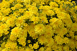 Diana Chrysanthemum (Chrysanthemum 'Diana') at Oakland Nurseries Inc