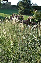 Sarabande Maiden Grass (Miscanthus sinensis 'Sarabande') at Oakland Nurseries Inc