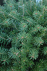 Green Carpet Korean Fir (Abies koreana 'Green Carpet') at Oakland Nurseries Inc