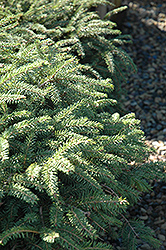 Elegans Spruce (Picea abies 'Elegans') at Oakland Nurseries Inc