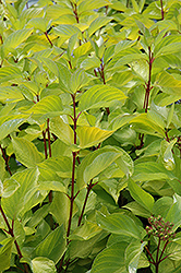 Prairie Fire Dogwood (Cornus alba 'Prairie Fire') at Oakland Nurseries Inc