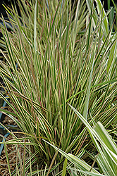 Northern Lights Tufted Hair Grass (Deschampsia cespitosa 'Northern Lights') at Oakland Nurseries Inc
