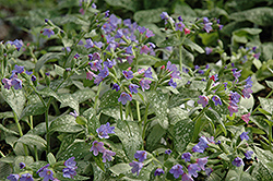 Majeste Lungwort (Pulmonaria 'Majeste') at Oakland Nurseries Inc