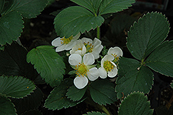 Honeoye Strawberry (Fragaria 'Honeoye') at Oakland Nurseries Inc