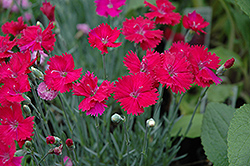 Neon Star Pinks (Dianthus 'Neon Star') at Oakland Nurseries Inc