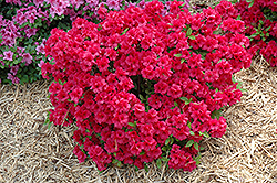 Hershey's Red Azalea (Rhododendron 'Hershey's Red') at Oakland Nurseries Inc