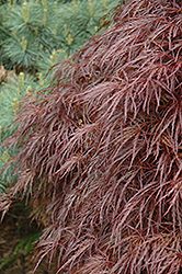 Red Select Cutleaf Japanese Maple (Acer palmatum 'Dissectum Red Select') at Oakland Nurseries Inc