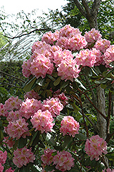 Scintillation Rhododendron (Rhododendron 'Scintillation') at Oakland Nurseries Inc