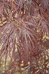 Garnet Cutleaf Japanese Maple (Acer palmatum 'Garnet') at Oakland Nurseries Inc