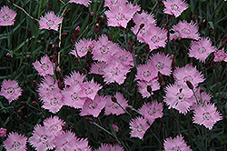 Bath's Pink Pinks (Dianthus 'Bath's Pink') at Oakland Nurseries Inc
