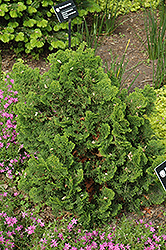 Dwarf Hinoki Falsecypress (Chamaecyparis obtusa 'Nana Gracilis') at Oakland Nurseries Inc