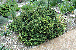Pumila Norway Spruce (Picea abies 'Pumila') at Oakland Nurseries Inc