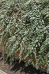 Coral Beauty Cotoneaster (Cotoneaster dammeri 'Coral Beauty') at Oakland Nurseries Inc