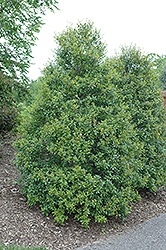 Foster's Holly (Ilex x attenuata 'Fosteri') at Oakland Nurseries Inc
