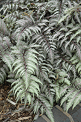 Pewter Lace Painted Fern (Athyrium nipponicum 'Pewter Lace') at Oakland Nurseries Inc