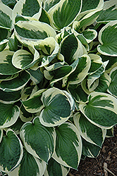 Patriot Hosta (Hosta 'Patriot') at Oakland Nurseries Inc