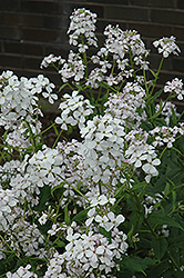 Dame's Rocket (Hesperis matronalis) at Oakland Nurseries Inc