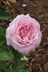 Belinda's Dream Rose (Rosa 'Belinda's Dream') at Oakland Nurseries Inc