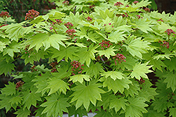 Golden Full Moon Maple (Acer shirasawanum 'Aureum') at Oakland Nurseries Inc