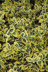 Emerald 'n' Gold Wintercreeper (Euonymus fortunei 'Emerald 'n' Gold') at Oakland Nurseries Inc