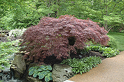 Red Select Japanese Maple (Acer palmatum 'Red Select') at Oakland Nurseries Inc