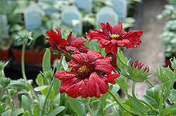 Sunset™ Burgundy Blanket Flower (Gaillardia x grandiflora 'Sunset Burgundy') at Oakland Nurseries Inc