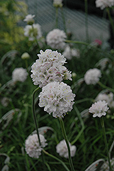 White Sea Thrift (Armeria maritima 'Alba') at Oakland Nurseries Inc