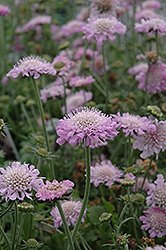 Pink Mist Pincushion Flower (Scabiosa 'Pink Mist') at Oakland Nurseries Inc