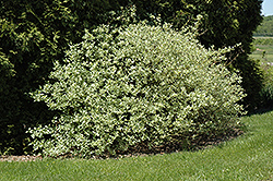 Silver and Gold Dogwood (Cornus sericea 'Silver and Gold') at Oakland Nurseries Inc