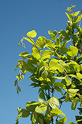 Dawyck Gold Beech (Fagus sylvatica 'Dawyck Gold') at Oakland Nurseries Inc