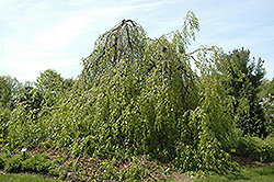 Weeping Beech (Fagus sylvatica 'Pendula') at Oakland Nurseries Inc