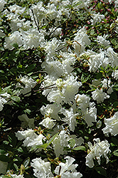 Helen Curtis Azalea (Rhododendron 'Helen Curtis') at Oakland Nurseries Inc