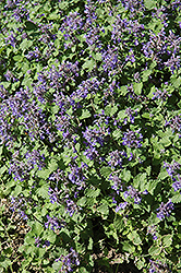 Little Titch Catmint (Nepeta racemosa 'Little Titch') at Oakland Nurseries Inc