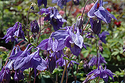 Alpine Columbine (Aquilegia alpina) at Oakland Nurseries Inc