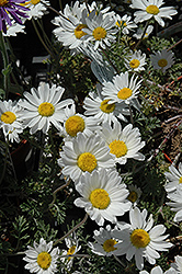 Snow Carpet Marguerite Daisy (Anthemis 'Snow Carpet') at Oakland Nurseries Inc