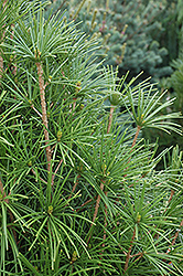 Wintergreen Umbrella Pine (Sciadopitys verticillata 'Wintergreen') at Oakland Nurseries Inc