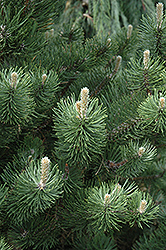 Oregon Green Austrian Pine (Pinus nigra 'Oregon Green') at Oakland Nurseries Inc