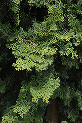 Wells Special Hinoki Falsecypress (Chamaecyparis obtusa 'Wells Special') at Oakland Nurseries Inc