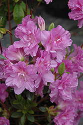 Elsie Lee Azalea (Rhododendron 'Elsie Lee') at Oakland Nurseries Inc