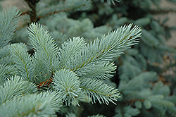 Bacheri Blue Spruce (Picea pungens 'Bacheri') at Oakland Nurseries Inc