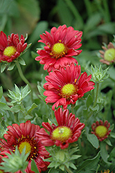 Sunburst Burgundy Silk Blanket Flower (Gaillardia x grandiflora 'Sunburst Burgundy Silk') at Oakland Nurseries Inc