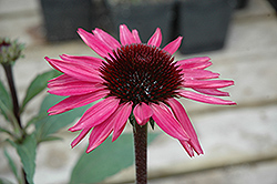 Big Sky After Midnight Coneflower (Echinacea 'Big Sky After Midnight') at Oakland Nurseries Inc