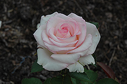 Moonstone Rose (Rosa 'Moonstone') at Oakland Nurseries Inc