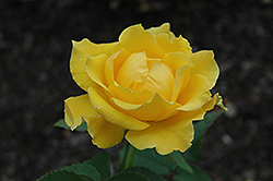 Midas Touch Rose (Rosa 'Midas Touch') at Oakland Nurseries Inc