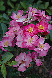 Daydream Rose (Rosa 'Daydream') at Oakland Nurseries Inc