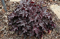 Dolce® Black Currant Coral Bells (Heuchera 'Black Currant') at Oakland Nurseries Inc