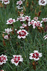 Brilliant Star Pinks (Dianthus 'Brilliant Star') at Oakland Nurseries Inc